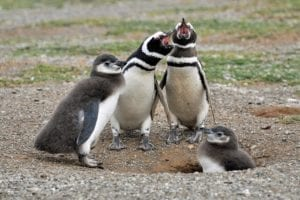 Image of four penguins standing together, with their beaks open.