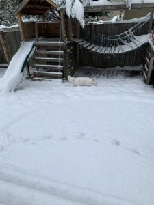 Image of Our white and cream colored dog checking out the snow. She almost blends in.