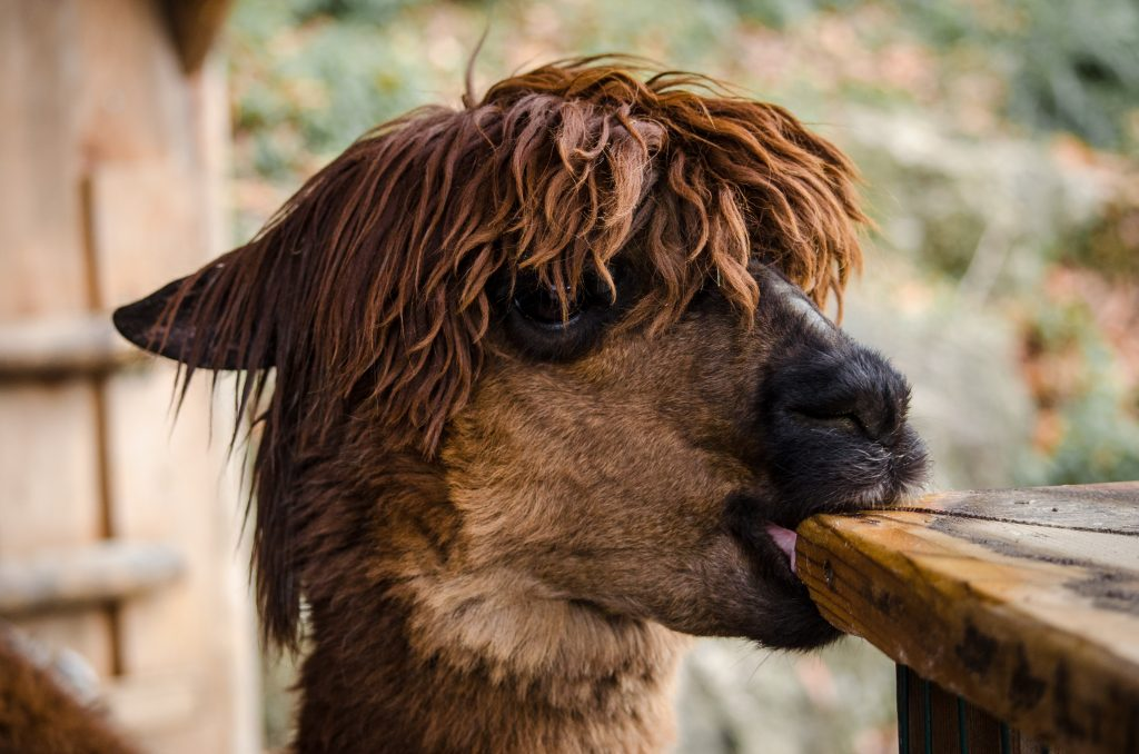 Close up image of a llama chewing on a table