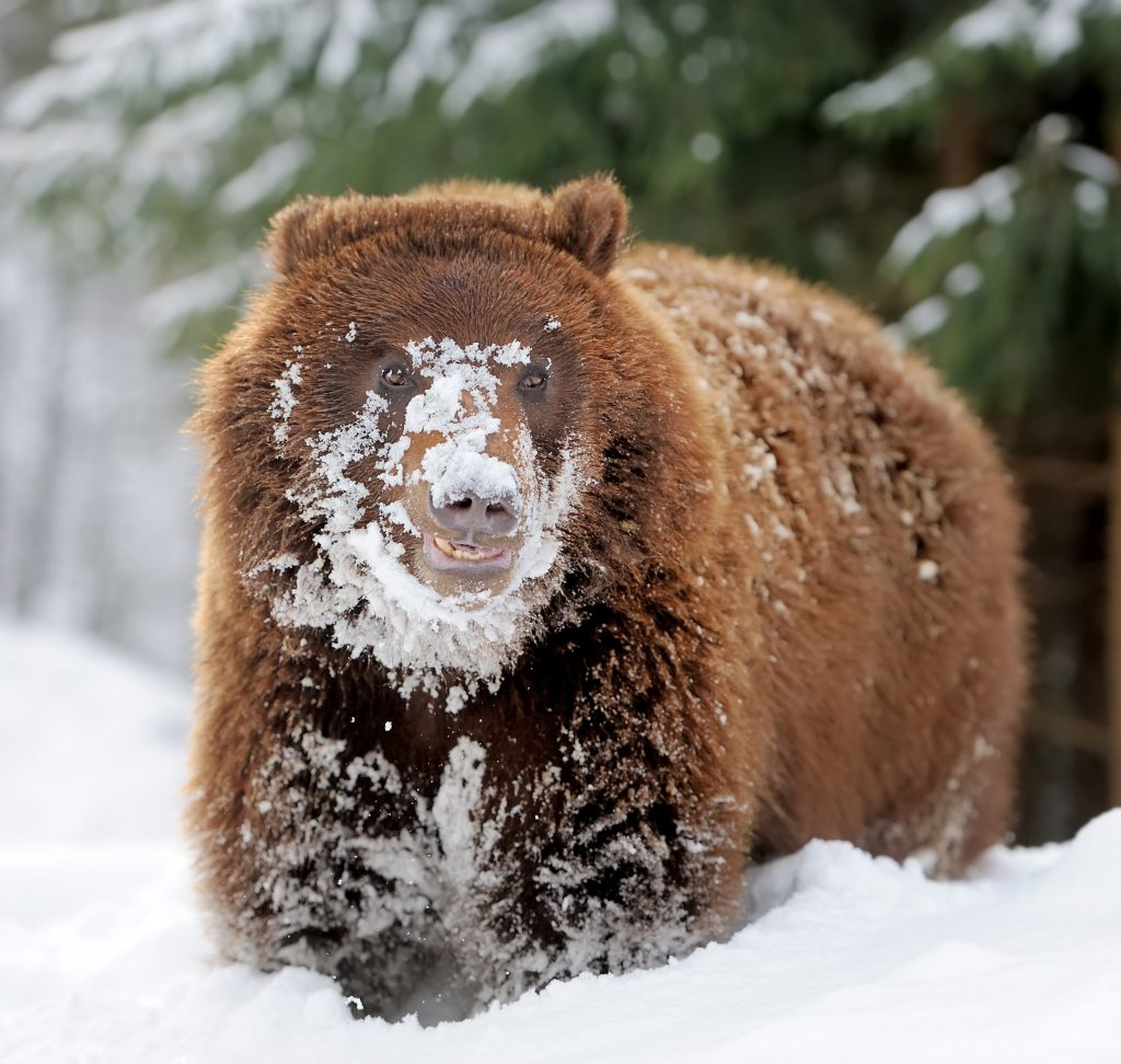 Image of a bear walking through snow with snow all over his face