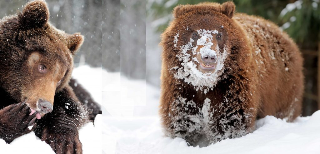 merged image of two bears in snow, one licking his paw and the other with snow all over his face